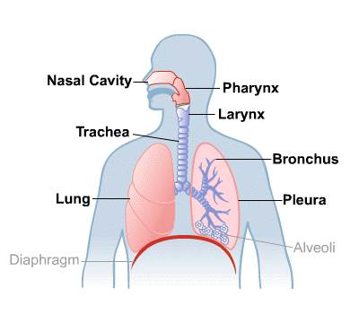 Human Lungs Anatomy And Physiology