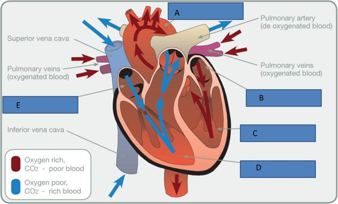 L2 anatomy and physiology test Revision: Heart and Lungs