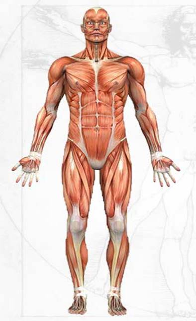 Anatomical Regions likewise Introduction To Anatomy additionally Normal Uterus furthermore Anatomical Directional Terms And Body Planes 373204 likewise Anatomical Regions. on body planes and positions