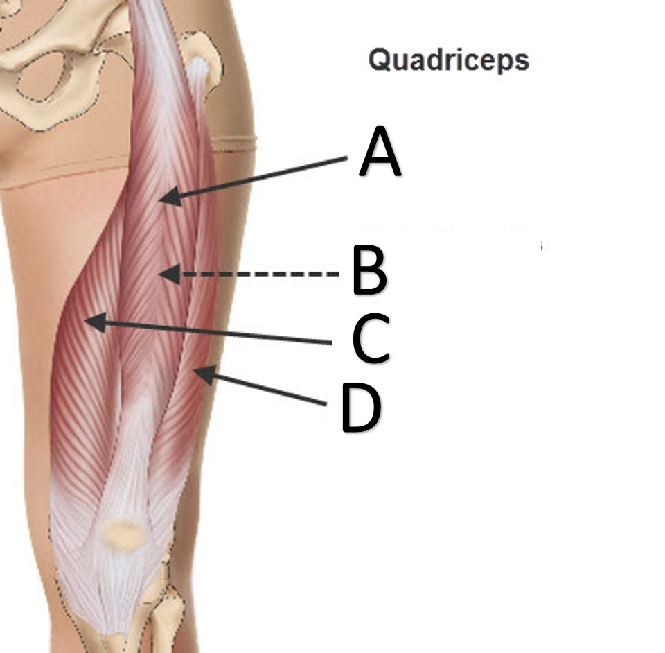 Anatomy Quiz - Muscles of the Leg