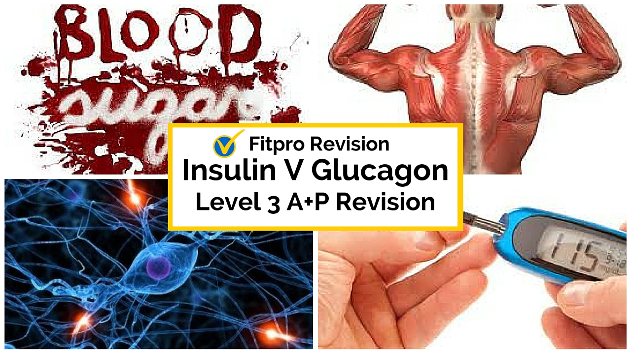 Level 3 Anatomy Exam: What's the difference between Insulin and Glucagon?