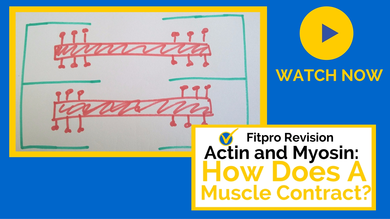 Actin and Myosin: How Does a Muscle Contract?