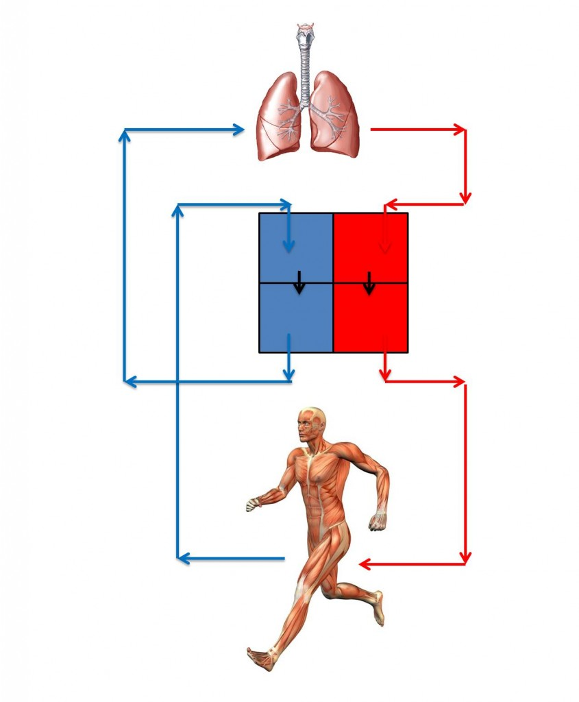 Level 3 Anatomy and Physiology Revision - heart and lungs