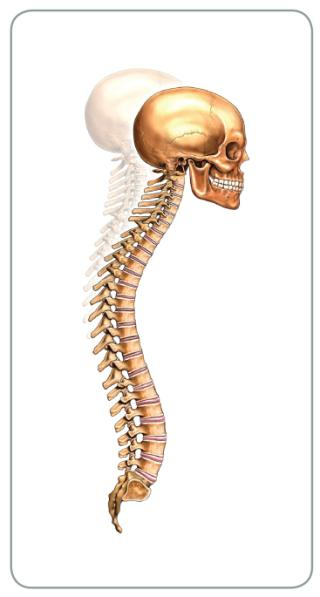 spinal posture Level 2 Anatomy and Physiology Mock Paper