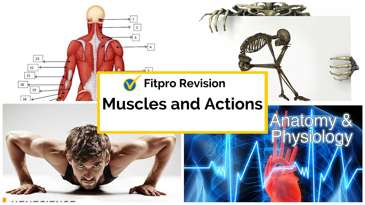 Level 3 Anatomy and Physiology Exam >> Muscles and Muscle Action
