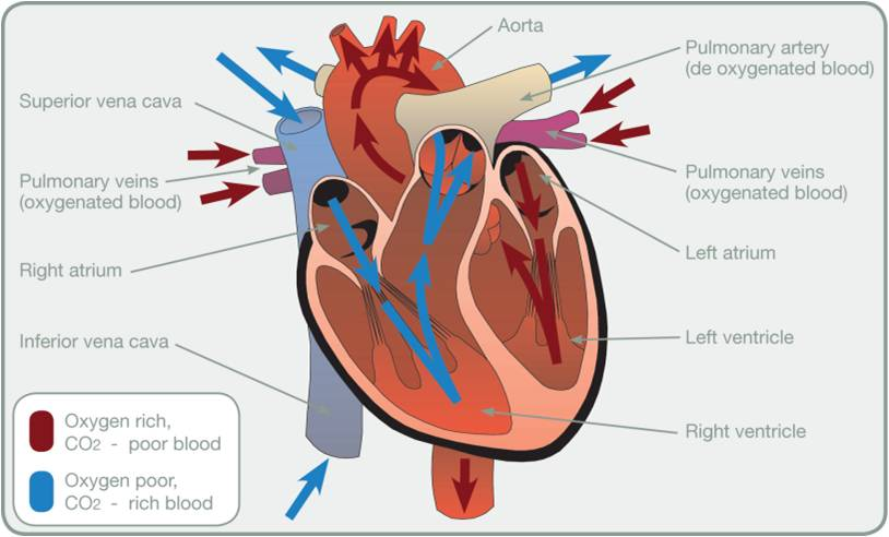 L2 Anatomy And Physiology Test Revision Heart And Lungs