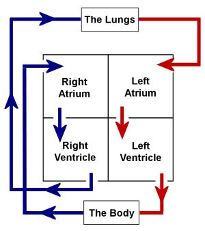 Level 3 anatomy and physiology the heart ccuart Choice Image