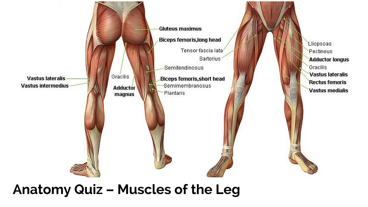 Anatomy quiz muscles of the leg ccuart Choice Image