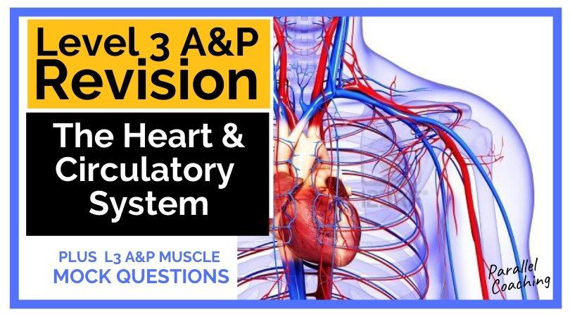 level 3 anatomy revision the heart and circulatory system