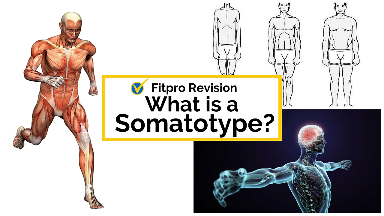 Level 2 Principles Exam: What is a somatotype?