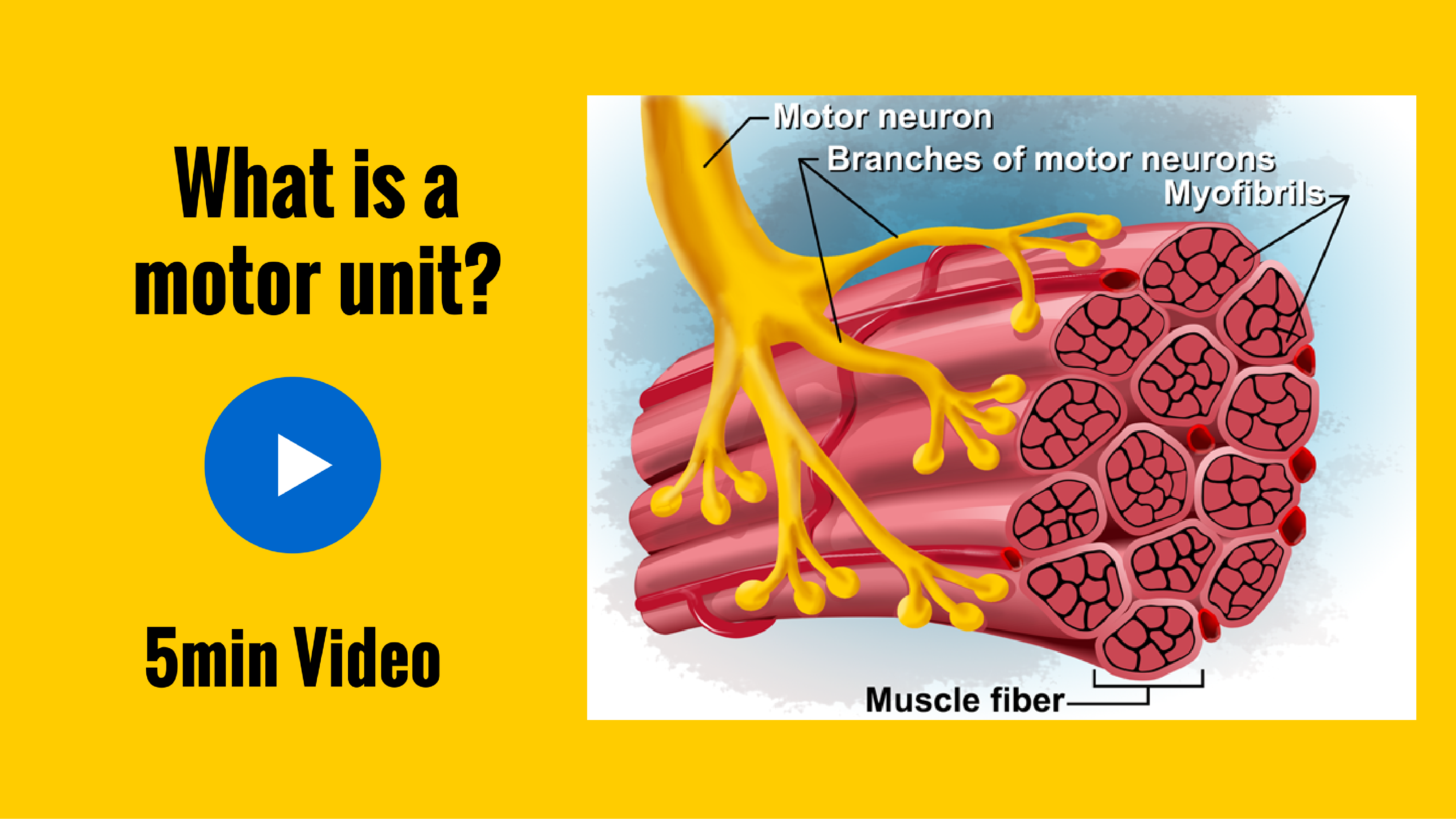 What is a motor unit?