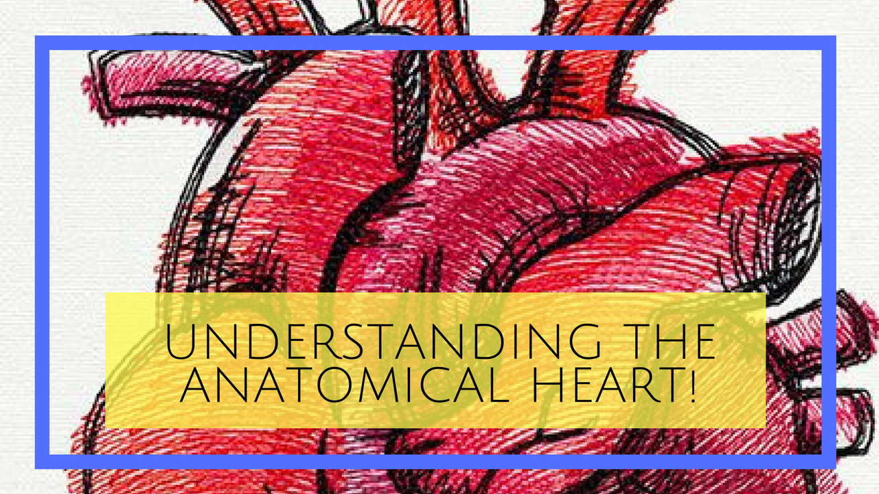 Understanding the anatomical heart