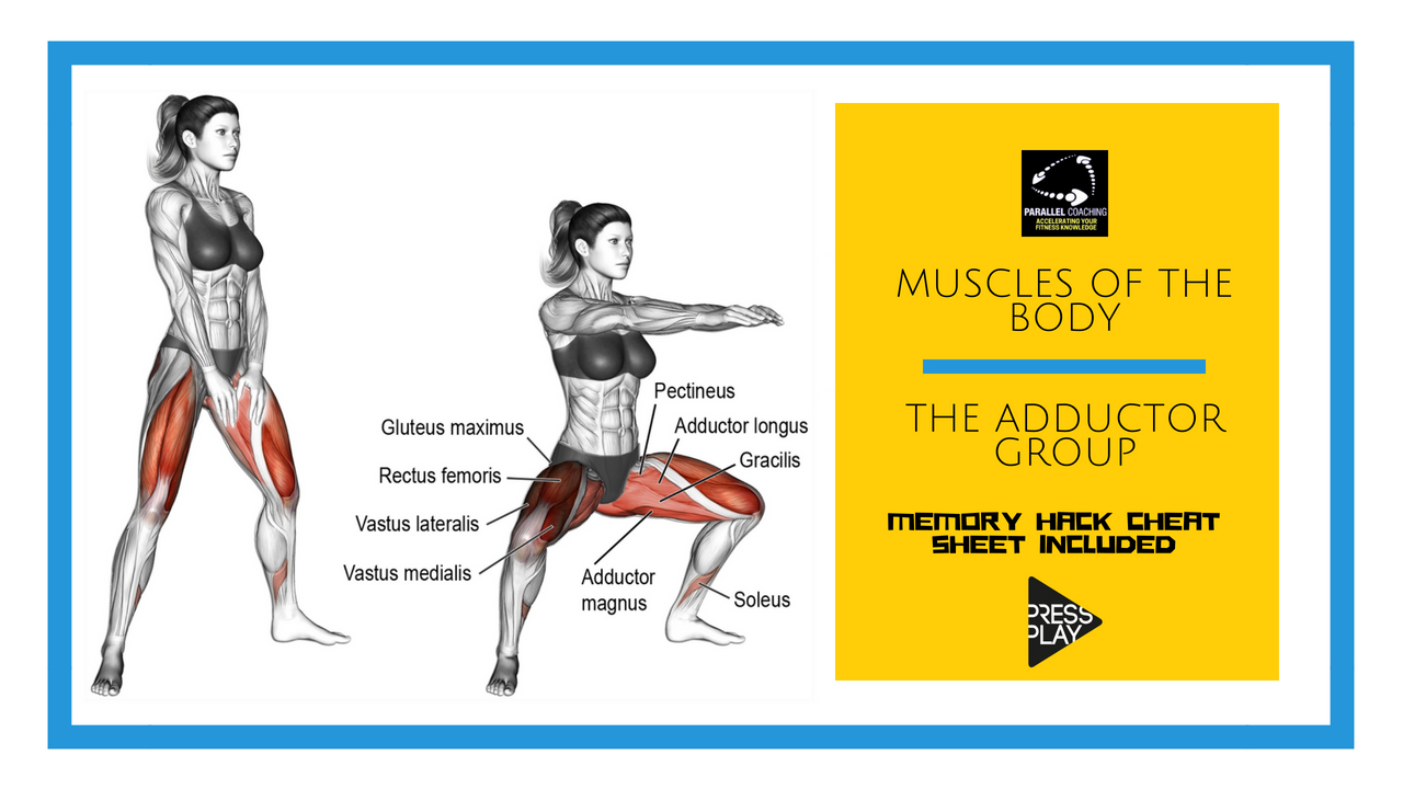 Muscles of the body – the adductor group