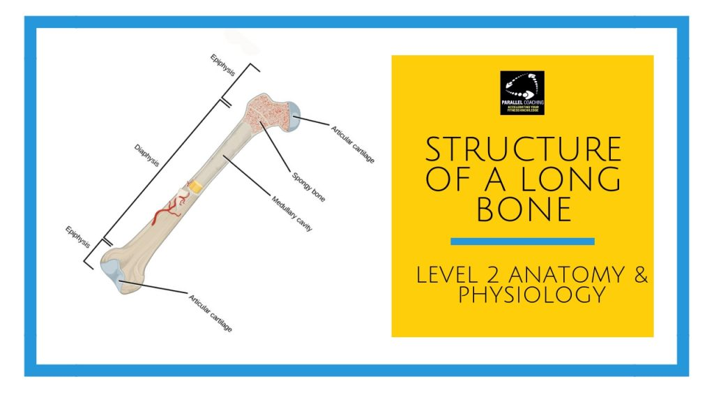 Structure of a long bone - level 2 anatomy and physiology