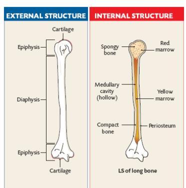 structure of a long bone - internal and external