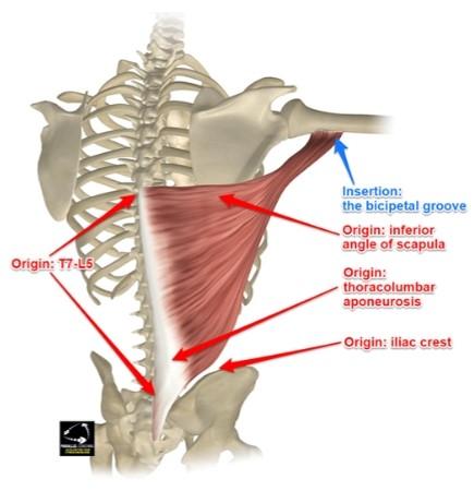 Latissimus Dorsi Origin and Insertion - L3 Anatomy and Physiology Exam