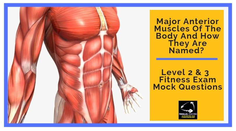 Major Anterior Muscles of the Body and How They Are Named
