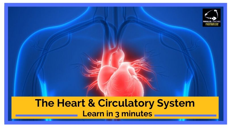 Understanding The Heart and Circulatory System
