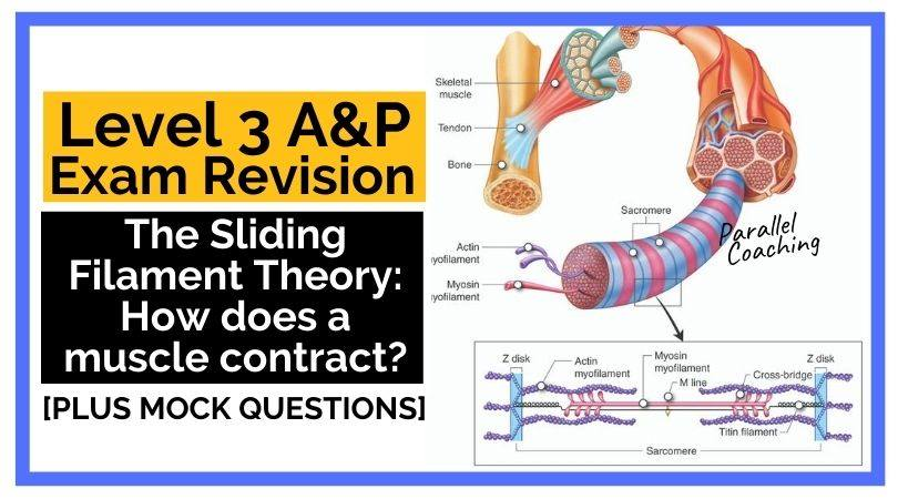 The Sliding Filament Theory How does a muscle contract