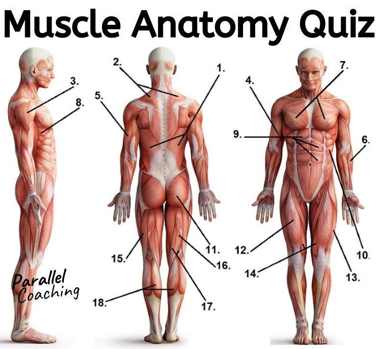 Muscle Anatomy Quiz - Level 2 and 3 Exam Revision