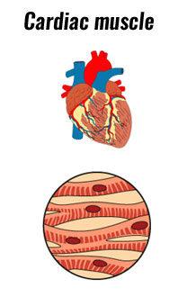 Cariac Muscle