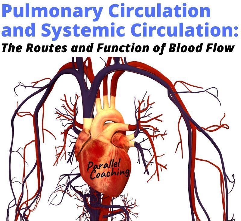 pulmonary circulatory system and systemic circulation