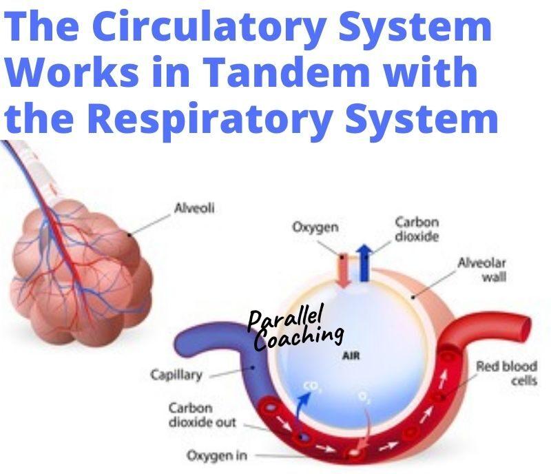pulmonary circulatory system - circulatory and respiratory system