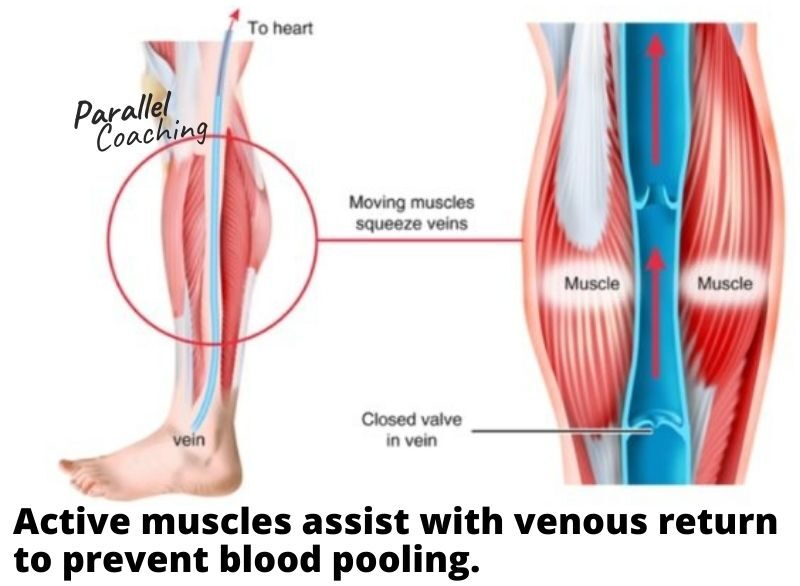 Blood Pooling Mock Question Dissection - active muscles